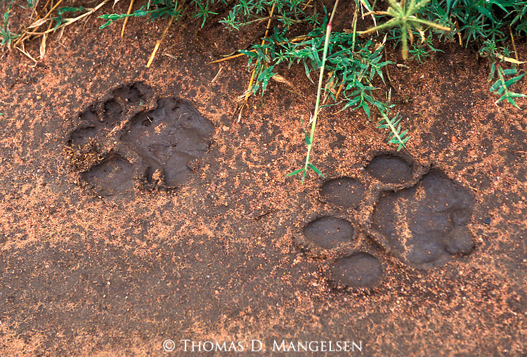 Lion (Panthera leo) paw prints in the mud in Ngorongoro Crater - Tanzania