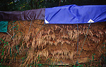 A083Y4 Reeds cut and stored under tarpaulin for thatching Suffolk England