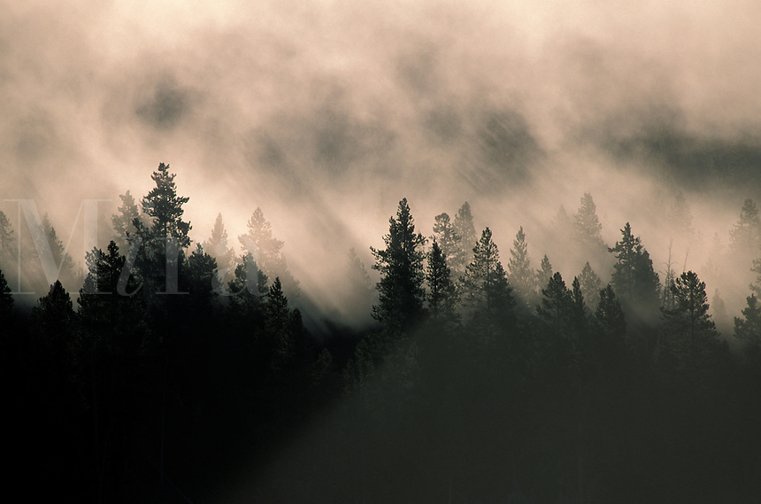 Trees in silhouette in the mist and clouds at Yellowstone National Park (1)