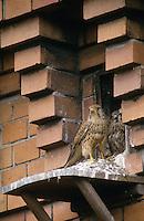 Turmfalke, Weibchen an Nisthilfe an Fassade, Turm-Falke, Falke, Falco tinnunculus, common kestrel