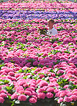 """Pictured:  Rory Paton of Pinetops Nurseries, examines the latest stock of Hydrangeas Blue and Pink and a bi-colour called Tivoli.<br /> <br /> Pinetops Nurseries in Lymington, Hants is a family business established in 1959 by the Paton family. The nurseries weekly crop consists of 6,000 oriental lillies and 2,000 hydrangeas, which twins Stuart and Ian nurture and tend to whilst Rory and his mum Jean sell the plants. <br /> <br /> The coronavirus pandemic has stalled sales at the nursery, as the nationwide lockdown has forced the closures of all garden centres. However the nursery has found that the business sales to supermarkets are up on last year.<br /> <br /> Mr Paton said """"With the hydrangeas we've been managing pretty well thanks to the supermarkets we already supply to, but the lillies sales are horrendous - about 90% down.""""<br /> <br /> In order to keep the business afloat during the crisis, Rory has had to resort to using the flowers grown at the nursery as compost as they are unable to source the the supplies themselves.  <br /> <br /> """"We end up composting the lillies. If we can't sell it, we've got to bin it, and when they are beautiful and perfect, that's really awful"""".A family friend has also created a new web shop, www.solentgrowers.co.uk for Pinetops and two other nurseries in the area to help boost sales.<br /> <br /> © Simon Czapp/Solent News & Photo Agency<br /> UK +44 (0) 2380 458800"""