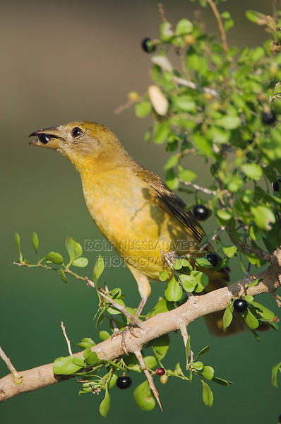 Summer Tanager, Piranga rubra, female eating saffron plum (Sideroxylon celastrinum) berries, Willacy County, Rio Grande Valley, Texas, USA, June 2006