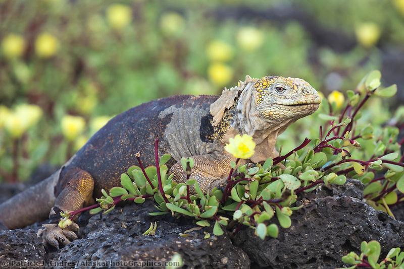 Male land iguana feeds on the blossoms of portulaca, South Plaza Island, Galapagos Islands, Ecuador