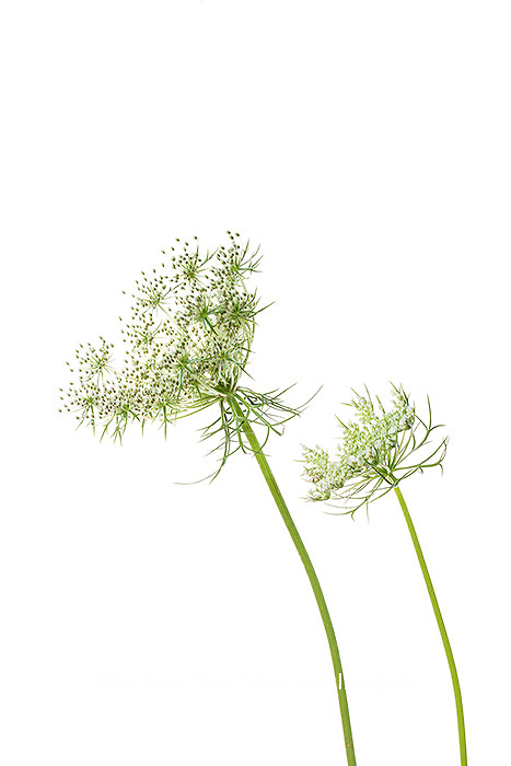 30099-00615 Queen Anne's Lace (Daucus carota) (high key white background) Marion Co. IL