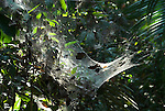 Communal Spiders on web, possibly Anelosimus eximius sp., Manu Peru, group, small, work together, amazon, jungle.South America....