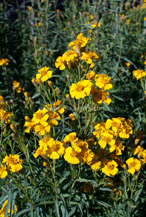 Tagetes lucida Sweet-scented Mexican Marigold