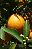Ripe orange fruit and white blossoms<br /> <br /> Naranja madura y flores de azahar<br /> <br /> Reife Orange und wei&szlig;e Orangenbl&uuml;ten<br /> <br /> 3008 x 2000 px<br /> 150 dpi: 50,94 x 33,87 cm<br /> 300 dpi: 25,47 x 16,93 cm