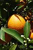 Ripe orange fruit and white blossoms<br /> <br /> Naranja madura y flores de azahar<br /> <br /> Reife Orange und weiße Orangenblüten<br /> <br /> 3008 x 2000 px<br /> 150 dpi: 50,94 x 33,87 cm<br /> 300 dpi: 25,47 x 16,93 cm