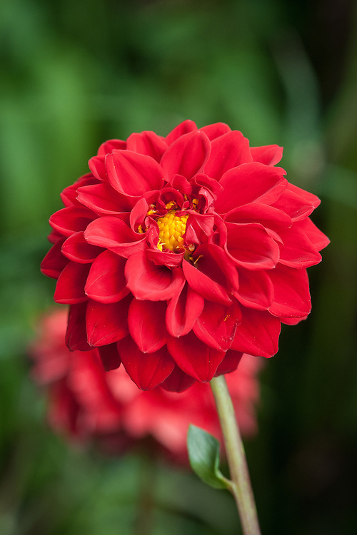 Dahlia 'Boom Boom Red', early August. One of the biggest Ball type dahlias.