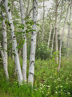 Acadia Naional Park, Maine: White birch (Betula papyrifa) and maple forest detail, summer.