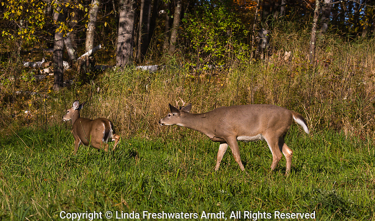 White-tailed buck chasing a doe during the rut.