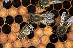 Honey Bee, Apis mellifera, inside hive, showing worker hatching emerging from cell, social, network, .United Kingdom....