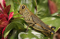 Adult differential grasshoppers are brown to olive green and yellow and up to 1-3/4 inches long. The hind legs (femora) are enlarged for jumping and are marked with chevron-like black markings.