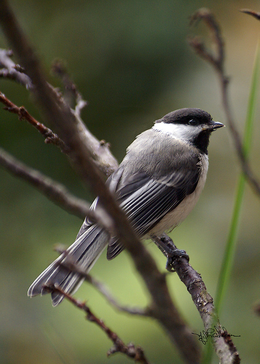 Close up of a Chickadee sitting on a branch.