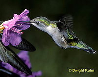 HU01-013z  Ruby-throated Hummingbird - drinking nectar from rhododendron flower as it hovers in air -  Archilochus colubris