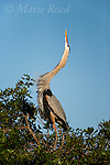 "Great Blue Heron (Ardea herodias) performing courtship display, ""stretch"" display, Florida, USA"