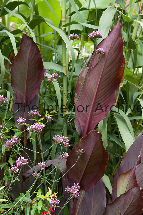 Deatial of a bed in the exotic garden at Great Dixter with canna, verbena bonariensis and bamboo