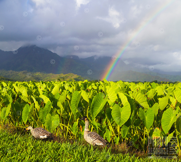Two nene at the Hanalei National Wildlife Refuge on Kaua'i, with double rainbows in distance.