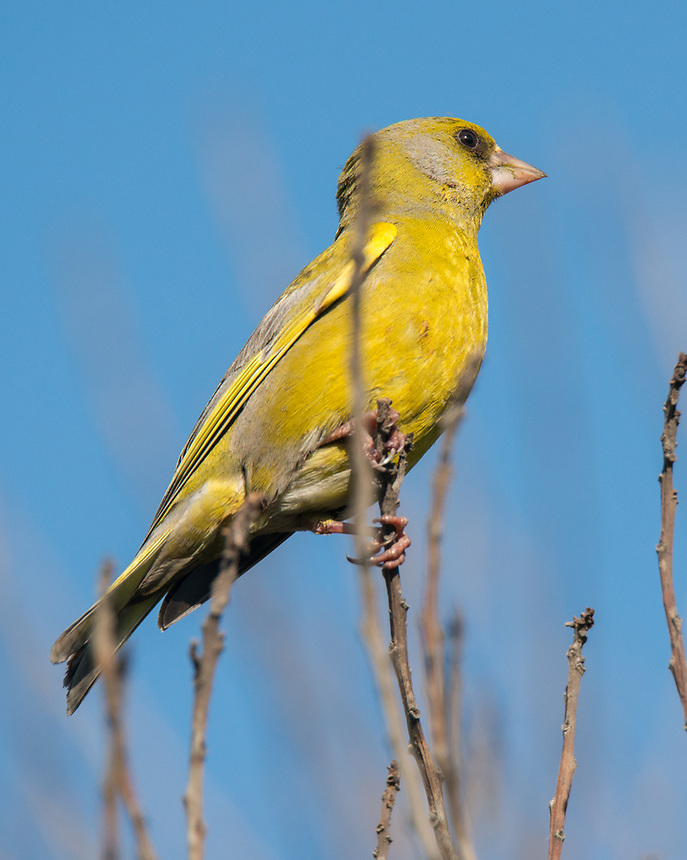 Common Greenfinch, Point Henry, Victoria.