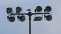 A seagull inspects the floodlights at the Highbury Stadium<br /> <br /> Photographer Stephen White/CameraSport<br /> <br /> The EFL Sky Bet League One - Fleetwood Town v AFC Wimbledon - Saturday 4th August 2018 - Highbury Stadium - Fleetwood<br /> <br /> World Copyright &copy; 2018 CameraSport. All rights reserved. 43 Linden Ave. Countesthorpe. Leicester. England. LE8 5PG - Tel: +44 (0) 116 277 4147 - admin@camerasport.com - www.camerasport.com