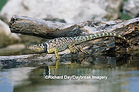 02617-00108 Blue Spiny Lizard (Sceloporus serrifer) Starr Co. TX