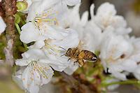 Honigbiene, im Flug, Anflug, sammelt Pollen an Kirschblüten, Kirsche, Prunus avium, Pollenhöschen, Blütenbestäubung, Blütenbesucher, Nektarsuche, Honig-Biene, Biene, Apis mellifera, honey bee, hive bee