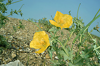 Yellow Horned-poppy - Glaucium flavum
