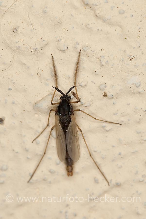 Zuckmücke, Zuckmücken, Tanzmücke, Schwarmmücke, Tanzmücken, Schwarmmücken, Weibchen, Chironomidae, Unterfamilie Tanypodinae, nonbiting midges, nonbiting midge, chironomids, chironomid, non-biting midges