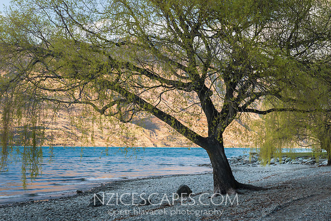 Shores of Lake Wakatipu in Queenstown with silhouetted willow tree, Central Otago, New Zealand