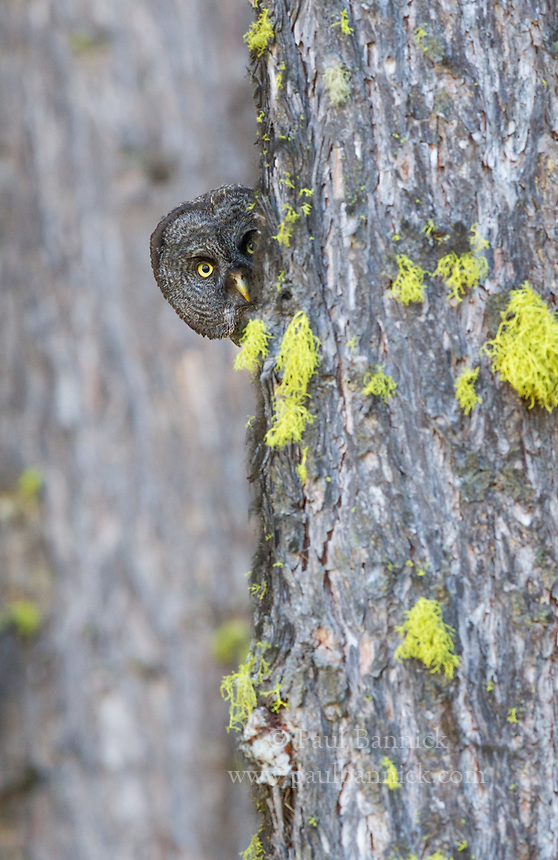 A juvenile Great Gray Owl peers from around the back of a tree. Great Gray Owls are the longest owl in North American but hide quite easily in their forest haunts. Kettle Falls, Washington, (not baited)