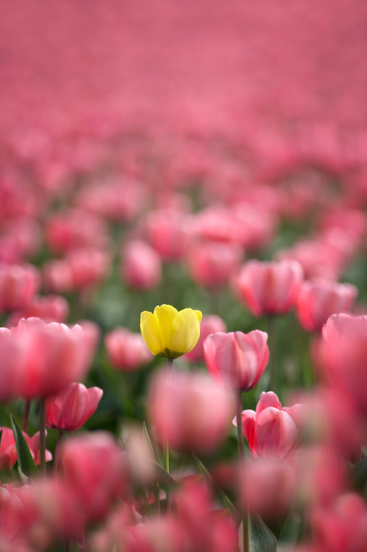 Field of pink tulips with one yellow tulip. Mt. Vernon. Washington