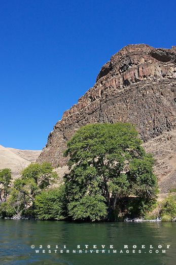 Alder tree and cliff on the Deschutes River.