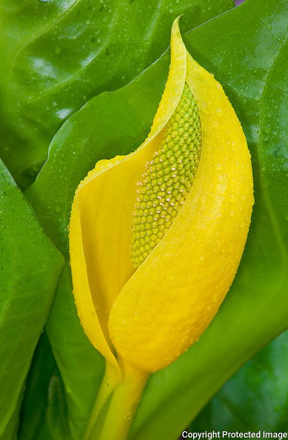 Vashon Island, Washington<br /> Westenrn skunk cabbabe (Lysichiton americanus) or swamp lantern - detail of a flower spike and yellow bract