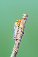 A Broad-headed Sharpshooter (Oncometopia orbona) perches on the end of a plant stem.