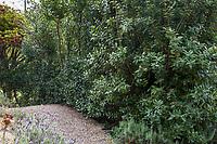 Rhus integrifolia (Lemonade Berry), Blake Garden