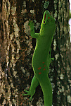 Madagascar giant day gecko climbs a tree trunk in Madagascar.