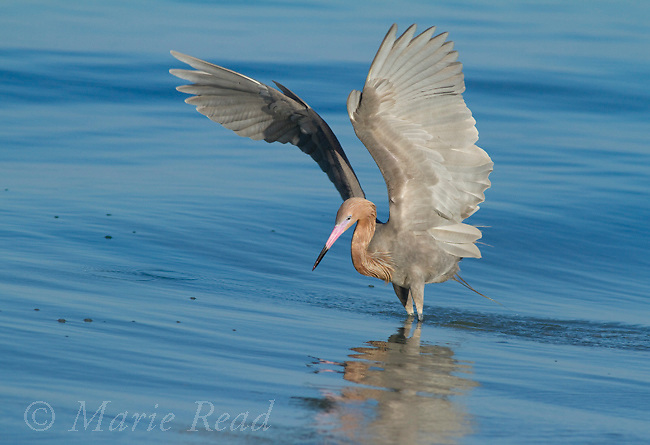 Reddish Egret (Egretta rufescens) with wings raised while foraging in the ocean, Fort DeSoto Park, Florida, USA