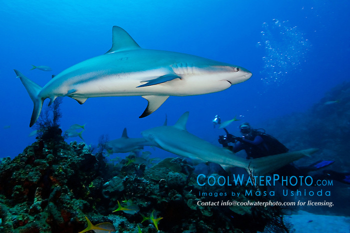 Caribbean Reef Sharks, Carcharhinus perezi, and scuba diver, over coral reef, West End, Grand Bahamas, Atlantic Ocean