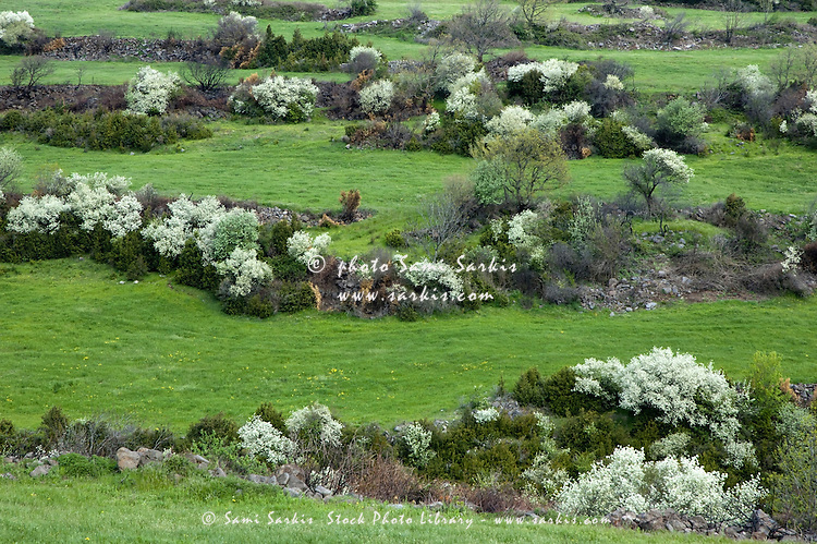 Flowered trees in a meadow in spring, Mirabel, Ardèche, France.