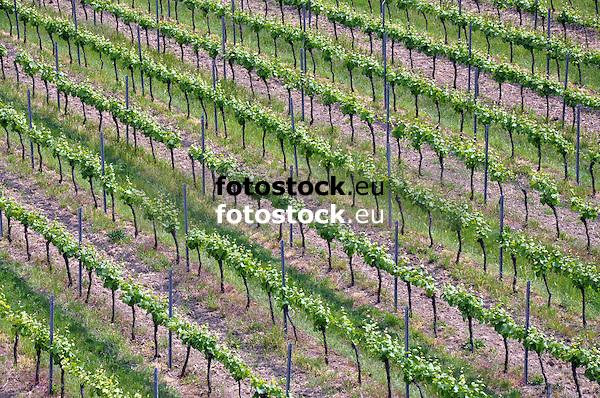 junge Weinstöcke eines Weinbergs im Frühjahr