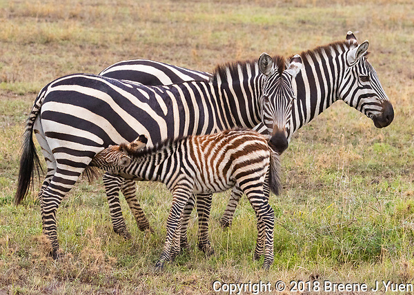 Zebra Family Baby Feeding