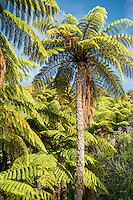 Mamaku, black tree fern, Cyathea medullaris, largest NZ fern, Nelson Region, Marlborough, South Island, New Zealand
