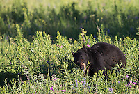 Black bears eat a variety of foods.  In spring you primarily see them grazing on flowers and grass.