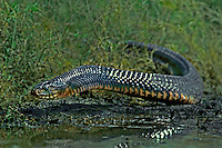 438950001 a wild texas indigo snake srymarchon corais erebennus a state threatened species crawls along the edge of a small pond on a private ranch in the rio grande valley of south texas