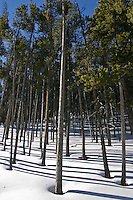 Pine trees stand in a blanket of snow on the eastern approach to Monarch Pass in Colorado's Rocky Mountains.