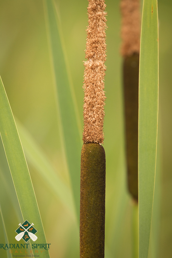 &quot;Cattails&quot;<br />