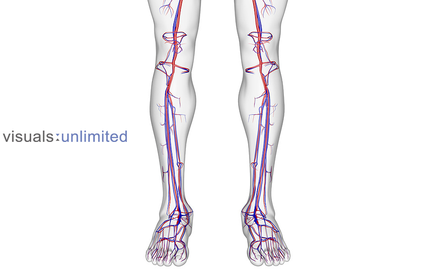 The Blood Supply Of The Leg Visuals Unlimited