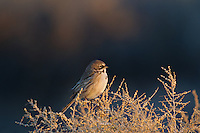 578830014 a wild sage sparrow amphispiza belli nevadensis perches on a sagebrush branch in kern county california