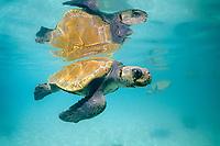 Kemp's ridley sea turtle, Lepidochelys kempii, critically endangered species, Mexico, Gulf of Mexico, Caribbean Sea, Atlantic Ocean (c)