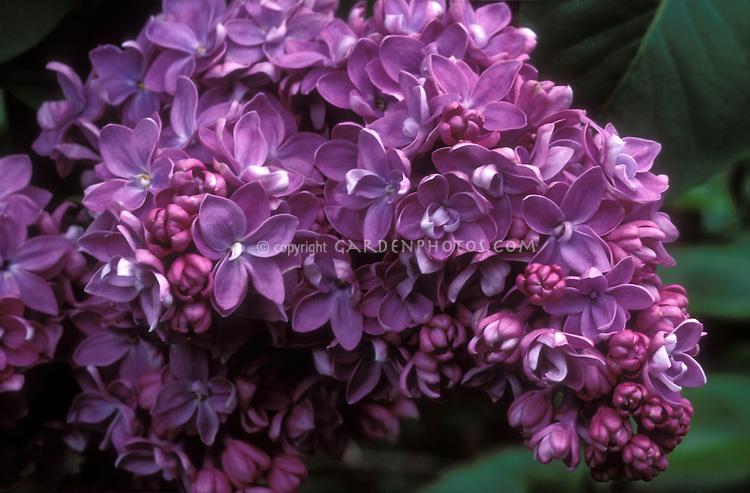 Lilac Syringa vulgaris 'Georges Bellair' in spring bloom closeup